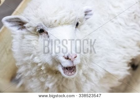 White Fluffy Sheep In The Aviary Closeup