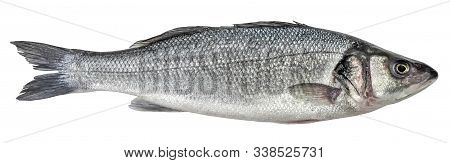 Fish Sea Bass Isolated On White Background. Side View