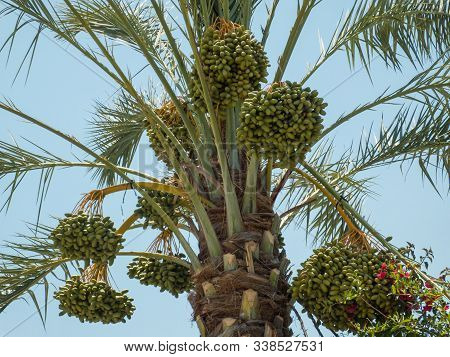 Ripening Fruits Of Date Palm, Clusters Of Date Fruits, Green Unripe Dates, Hanging Bunches Of Dates,