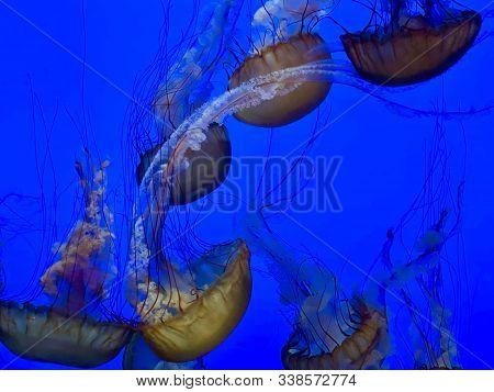 Jellyfish Floating In Aquarium Of Monterey, Ca
