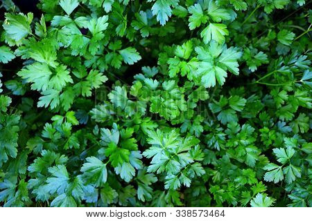 Organic Fresh Parsley Growing In Garden Farm Pattern Background. Young Leaves On Parsley & Cilantro