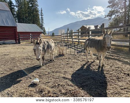 A Couple Of Donkeys Enjoying The Beautiful Day In Bayfield, Co