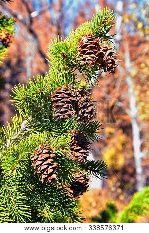 Pine Cone On The Evergreen Pine Tree Branch, Group On Fir, Conifer, Spruce Close Up In Utah, Blurred