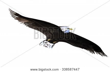 A Bald Eagle Soaring In The Sky With Wings Spread. Predatory Bird. High Flight Of An Eagle. White-ta