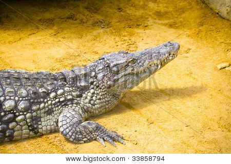 Little crocodile in vivarium