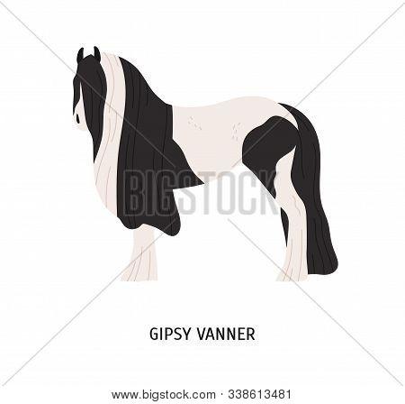 Gypsy Vanner Flat Vector Illustration. Pedigree Equine, Tinker Breed, Draft Horse. Hoss Breeding, Eq