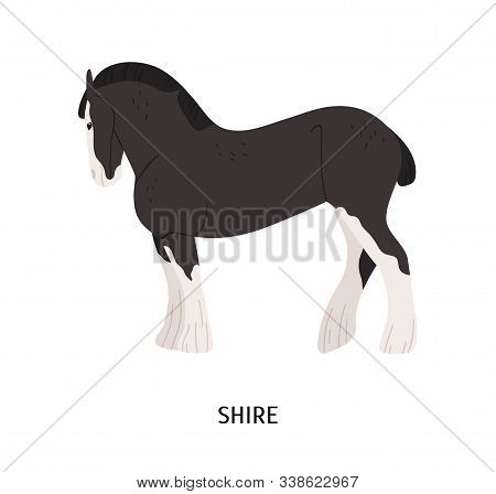 Shire Horse Flat Vector Illustration. British Breed Equine, Pedigree Hoss, Draft Horse. Equestrian S