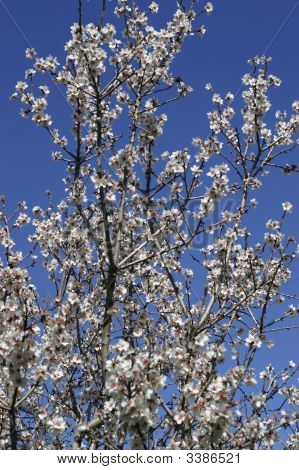 Prunus Dulcis, Flowering Nonpareil Almond Tree Branches