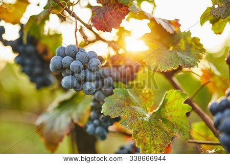 Blue Grapes In Sunshine On Autumn Vineyard