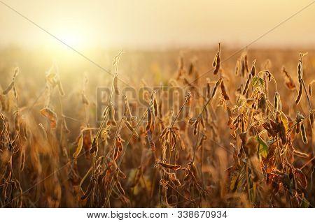 Soy Field Landscape At Sunset Time Backlit By Sun
