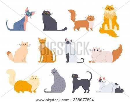 Cat Breeds. Cute Fluffy Cats, Maine Coon, Bobtail, Siamese Cat And Funny Sphynx Cat, Pedigree Breeds