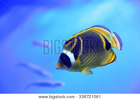 Beautiful Raccoon Butterflyfish In Clear Aquarium Water