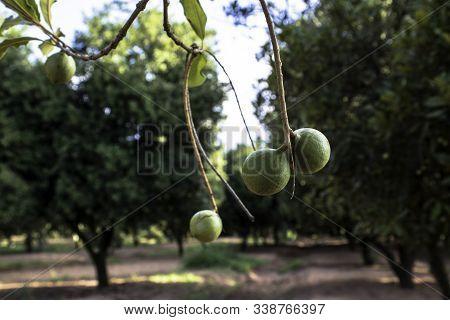 Macadamia Nuts On The Evergreen Tree, Macadamia Plantation In Brazil