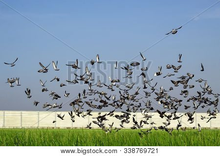 A Large Group Of Pigeons Eat Rice In The Rice Fields