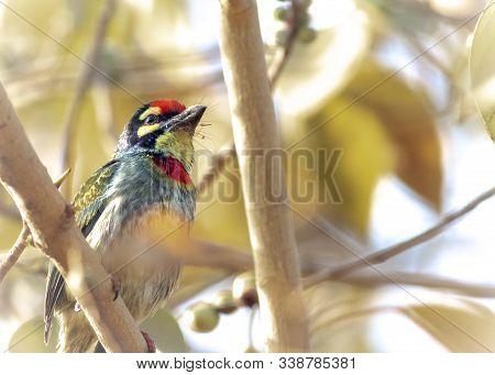 A Coppersmith Barbet Bird Perched On Small Branches Of A Tree