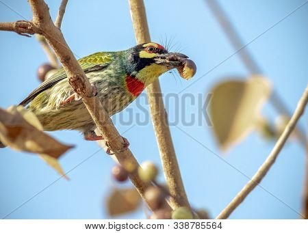 A Coppersmith Barbet Bird Perched On Small Branches Of A Tree With Fruit In Mouth