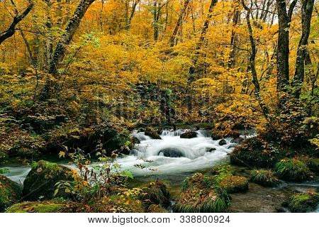 Autumn Color Of The Foliage In Oirase Valley With The Oirase River Flow Over Rocks In The Forest At