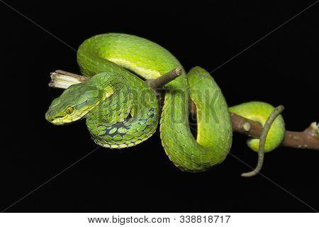 Large Scaled Pit Viper, Trimeresurus Macrolepis, Viperidae At Eravikulam National Park In Kerala, In