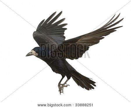 Rook, Corvus frugilegus, 3 years old, flying against white background
