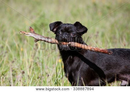 A black dog of the Piti Brabancon breed holds a stick in his teeth
