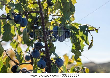 Blue Berries Of Wild Blackthorn With Green Leaves Against A Blue Sky