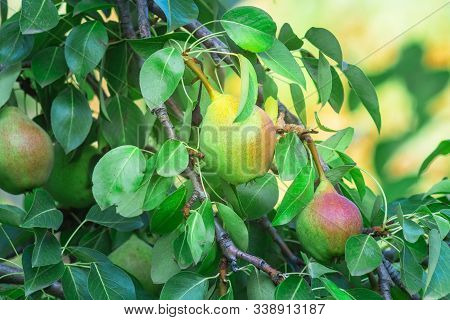Natural Pears Weigh On A Pear Tree, Twigs And Leaves. Healthy Organic Pears. Pear On A Branch. Ripen