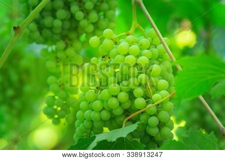 Green Ripe Grapes In The Vineyard. Ripe Clusters Of White Grapes On The Vine. Selective Focus On The