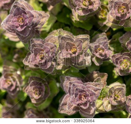 Pyramidal Bugle - Ajuga Pyramidalis - Wild Flower Seen From Above