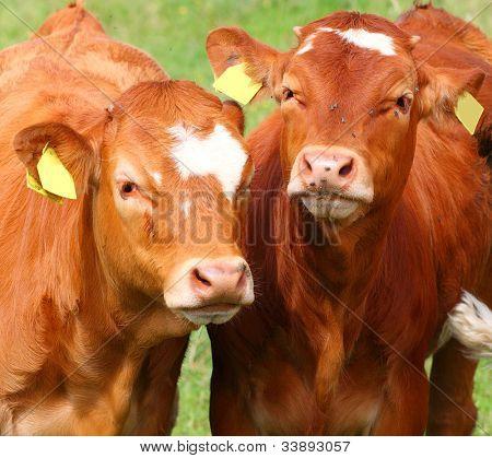 Cute calves cow on a rural meadows.