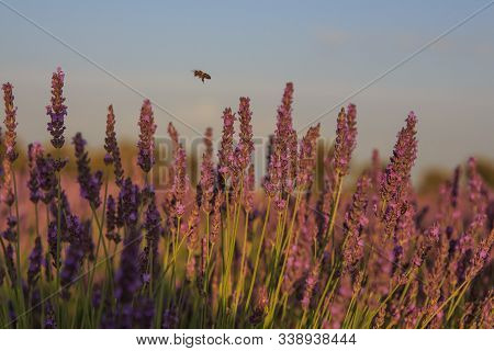 Bee Flying Among Lavender Plants. Insects Concept