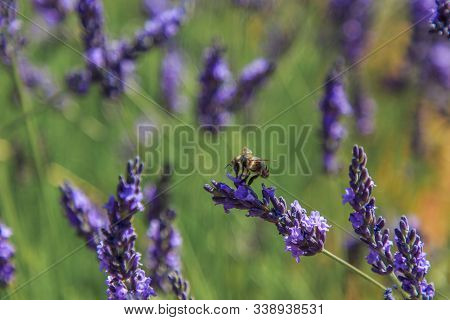 Bees Eating Nectar In Lavender Fields. Insects Concept