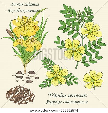 Medicinal Herbs Collection. Vector Hand Drawn Illustration Of Plants Tribulus Terrestris And Acorus