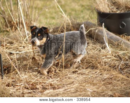 Blue Heeler Puppy Goes Exploring
