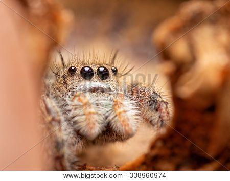Beautiful little Phidippus princeps jumping spider peeking through a crack in an acorn cap