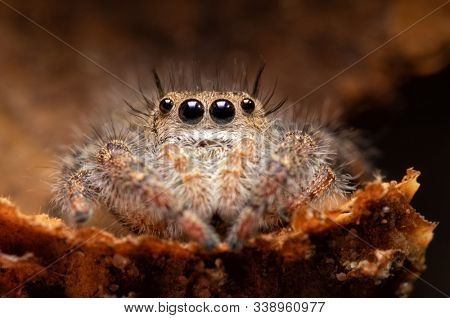 Beautiful Phidippus princeps jumping spider sitting inside an acorn cap