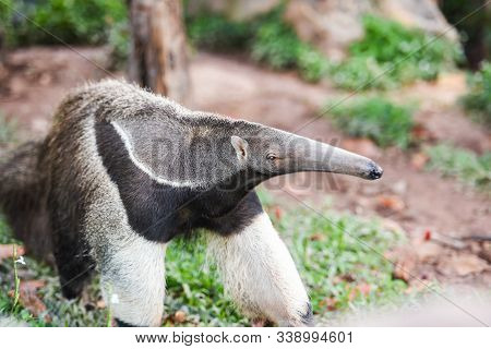 Giant Anteater Walking In The Farm Wildlife Sanctuary / Myrmecophaga Tridactyla