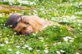 Germany sheep-dog laying in garden with white spring flowers poster