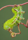 An io moth caterpillar is walking on a vine. poster