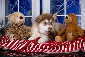 Puppy New Year's puppy Alaskan Malamute, Christmas dog