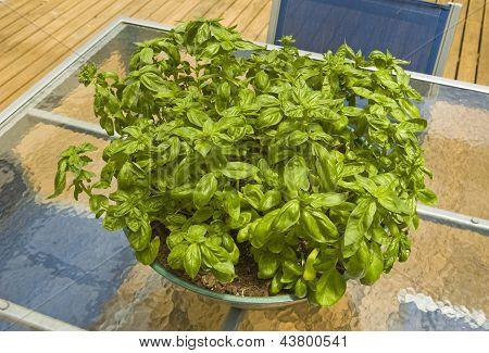 Big Bowl Of Basil On A Glass Table