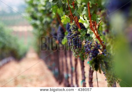 Romantic Vineyard