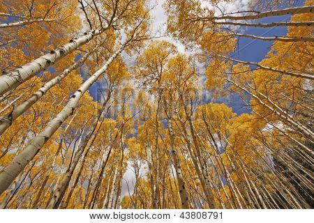 Autumn colored aspen trees, Rocky Mountains, Colorado, USA