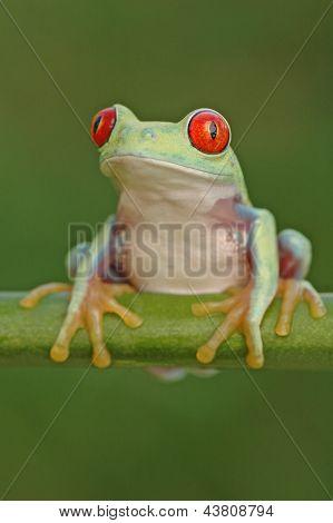 Red-eyed tree frog (Agalychnis callidryas) on a stem