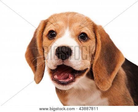 Beagle Puppy Portrait 2
