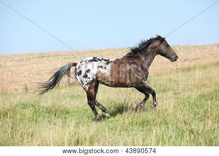 Nice Appaloosa Stallion Running