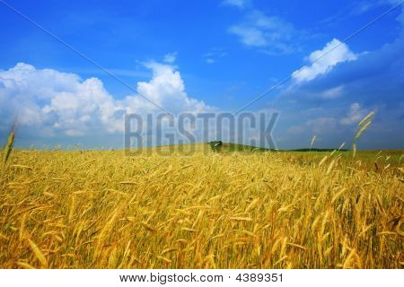 Yellow Field Of Wheat