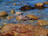Juvenile Western Seagull standing on a rock. poster