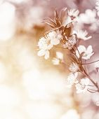 White cherry flowers on sunny day, floral branch of blooming tree in the garden, springtime nature, abstract natural background with soft focus poster