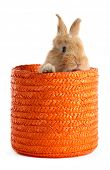 Fluffy foxy rabbit in wicker basket isolated on white poster