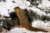 Michigan Fox Squirrel In Snowy Winter Setting poster